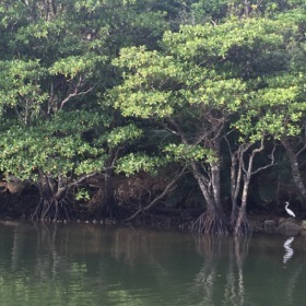 An egret in the mangroves