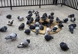 Pigeons keeping warm