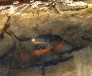 Koi swim under the floor's glass panel
