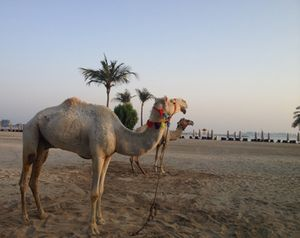 A pair of camels start the day