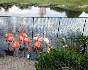 Flamingos at Fisher Island…