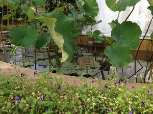 Long-stalked pansies, and lotus