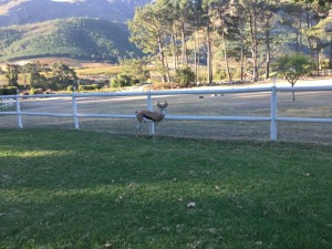 One of the springbok in a pen