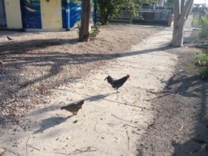 Welcome to Key West crow feral roosters