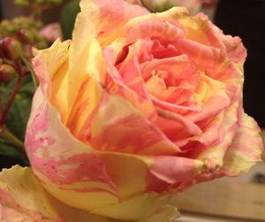 Stunning rose at the pink hotel
