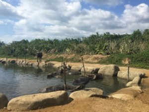 Buffalo relaxing their pool