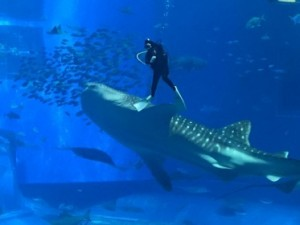 Cleaning a tank, watched by a whale shark