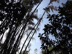 .. and Burmese bamboo