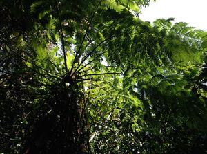Fishtail palm…