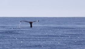 A humpback whale (photo courtesy Frédéric Vidal)