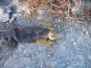 One of the many species of iguana in the Galapagos